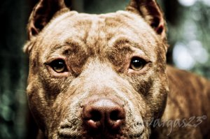PItbull Face by gvaragas23 CC BY-NC-ND 3.0 deviantART